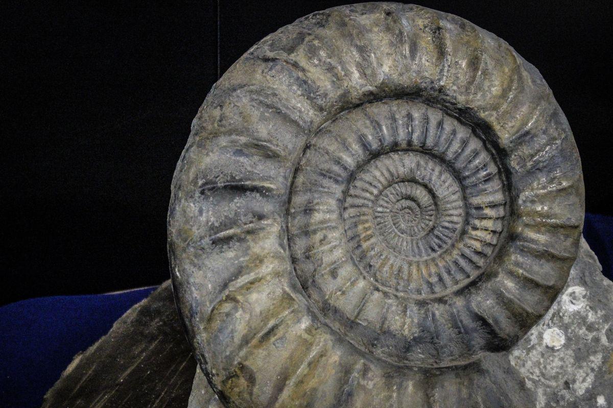 fossile al museo malacologico piceno